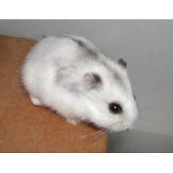 Kit Hamster anão c\ gaiola